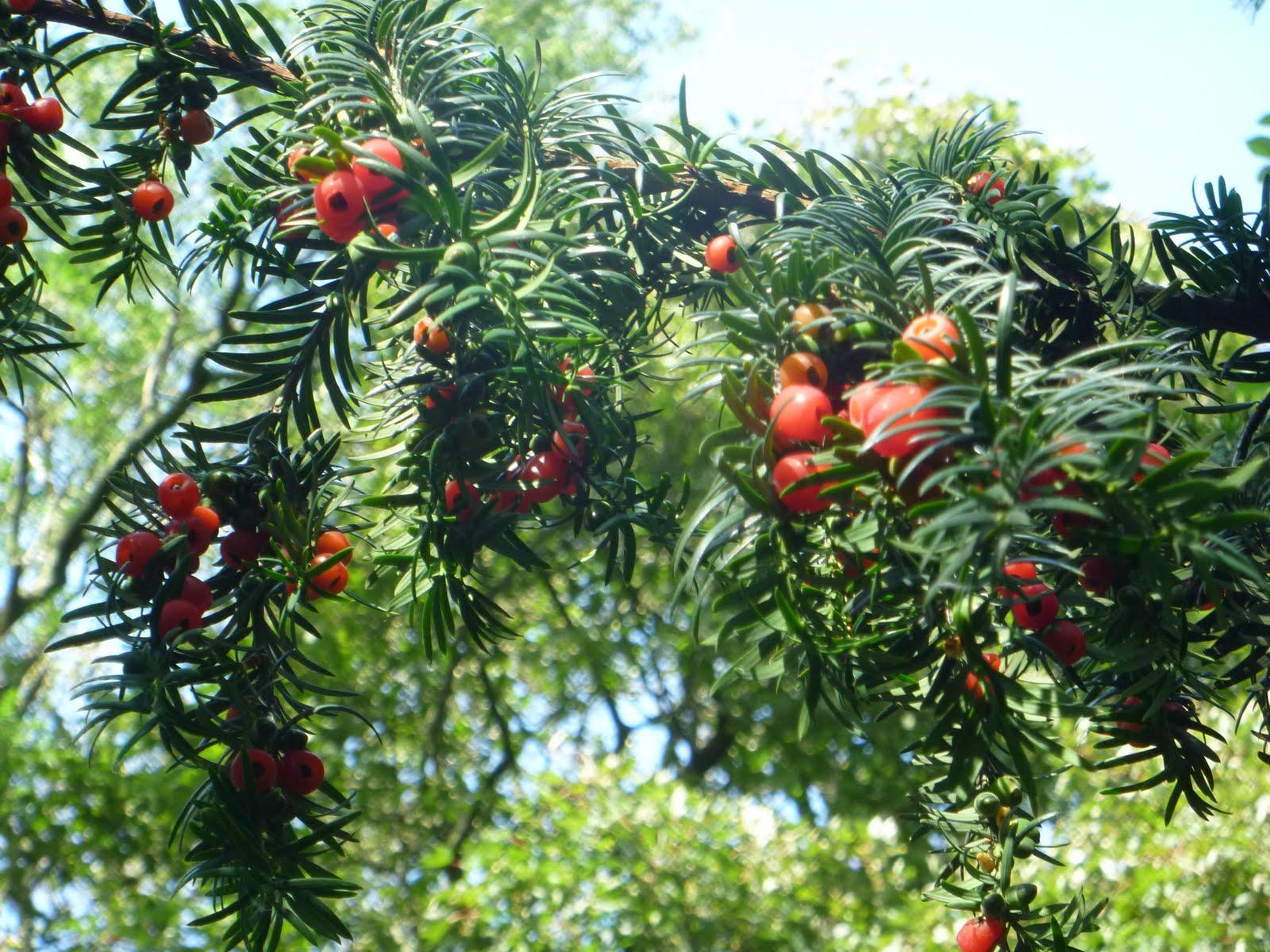 Цветок с красными ягодами