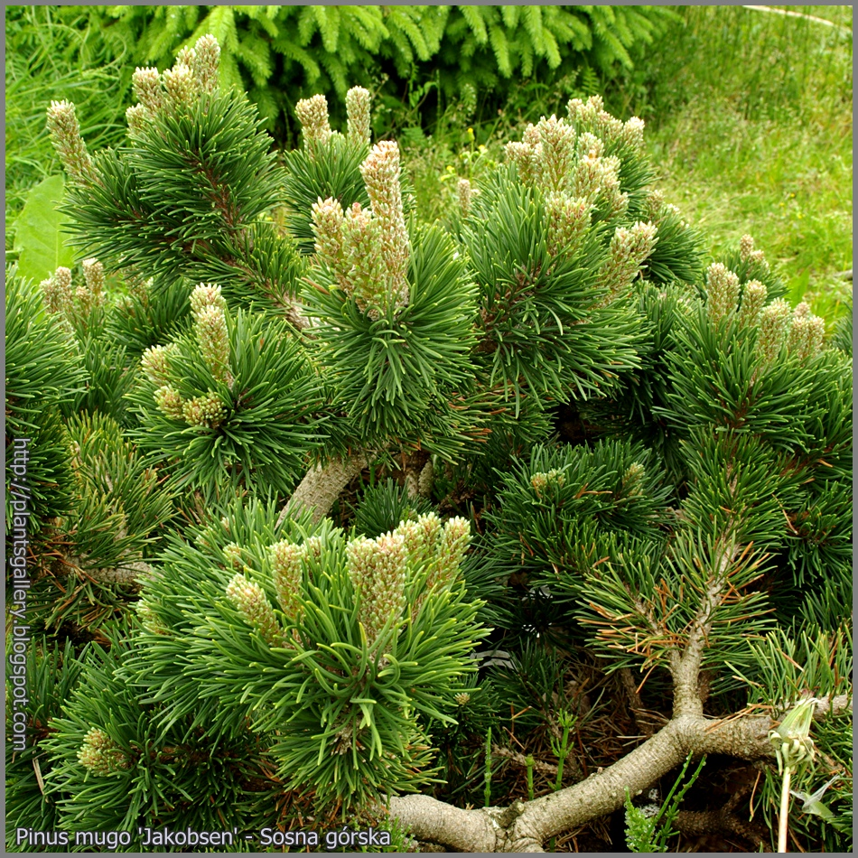 Хвойные деревья виды и сорта Сосна пихта кедр тис