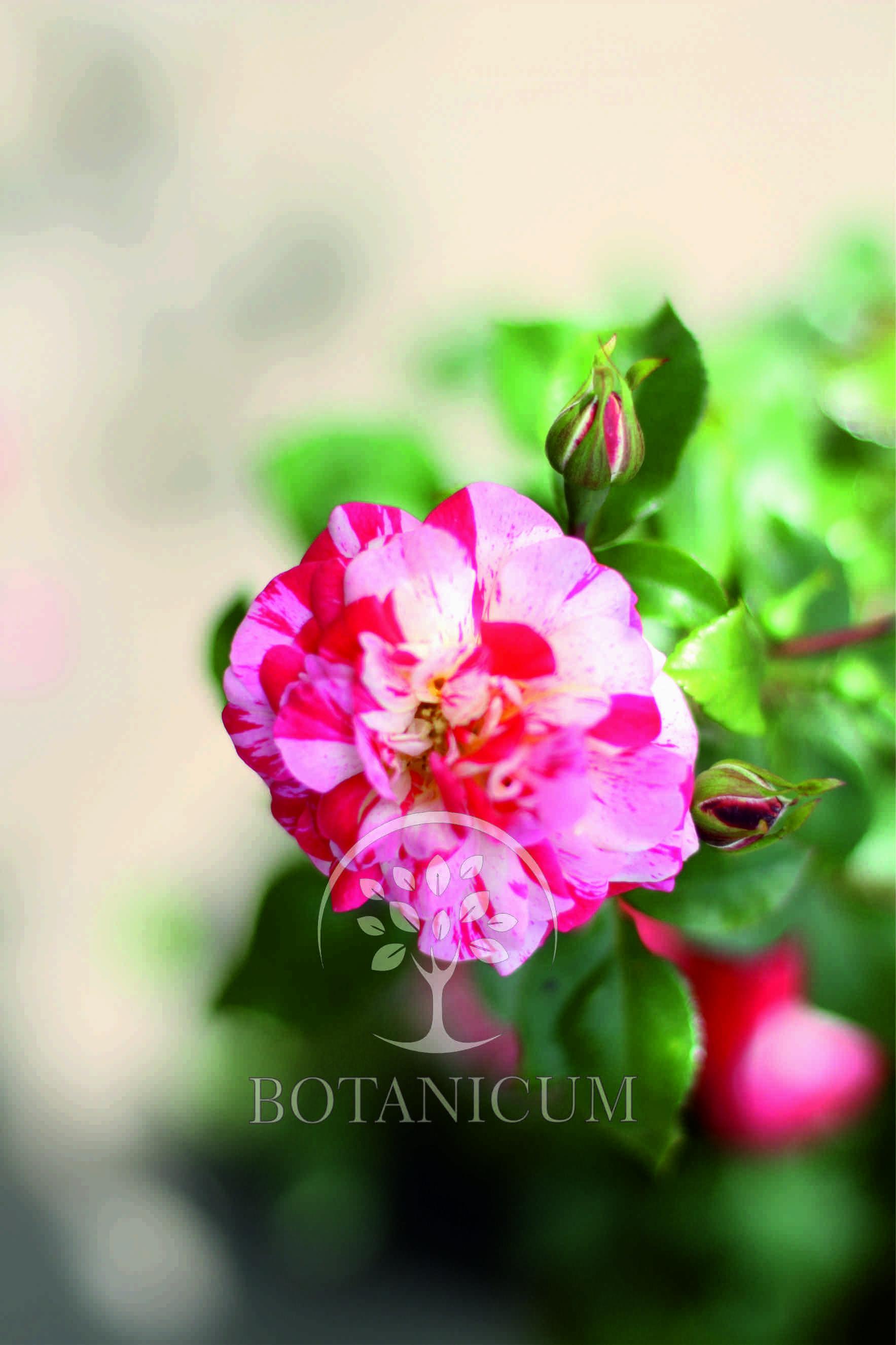 Как выглядит плетистая роза 1