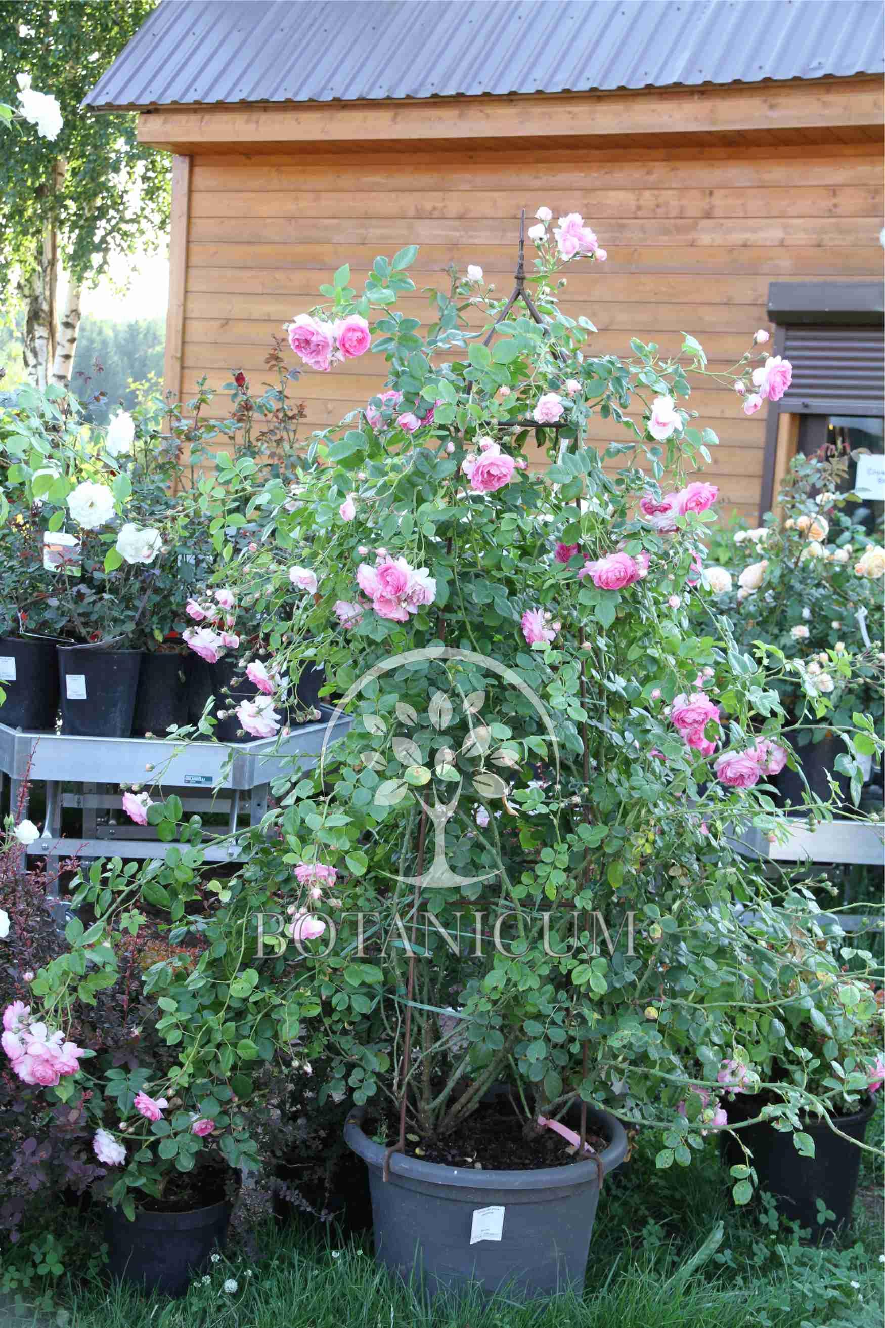Плетистая роза жасмина 1