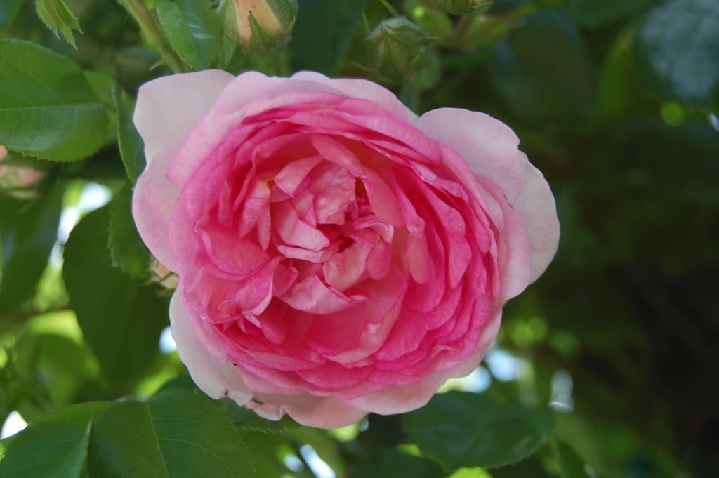 Плетистая роза жасмина 3