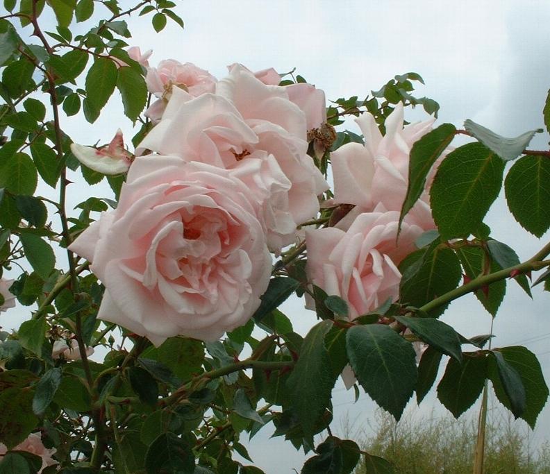 New dawn розы купить в спб цветы с доставкой в адлере недорого