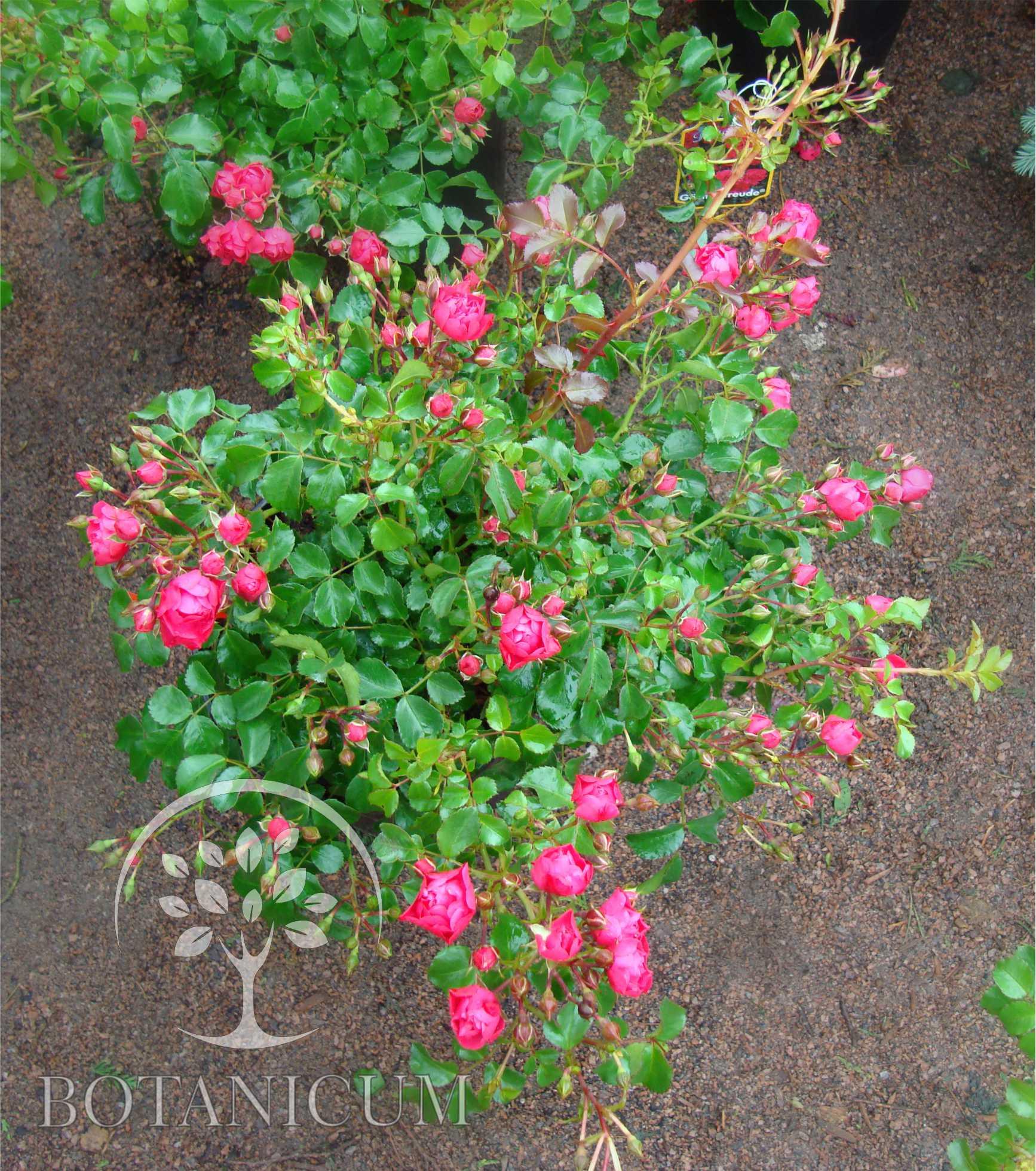 почвопокровная роза фото